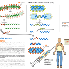 Diagram Of How Vaccines Work 1996 Honda Civic Engine Breakthrough Ebola Vaccine Provides Hope For West Africa