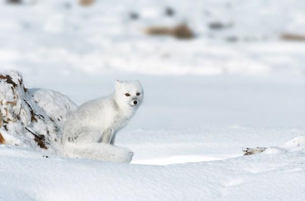 Arctic Fox Eating
