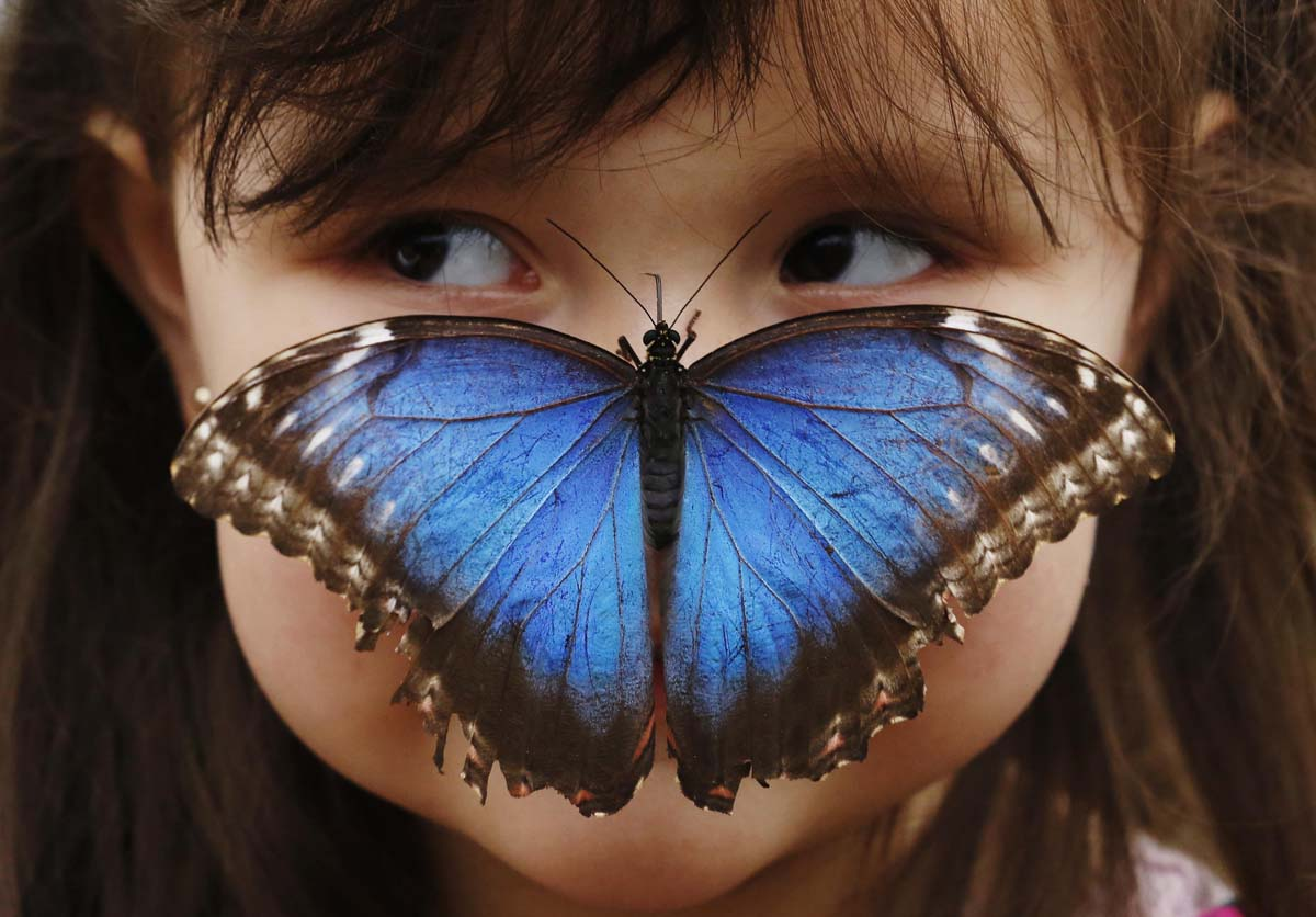 Three year old, Stella Ferruzola poses with a Blue Morpho butterfly on her nose at the Sensational Butterflies Exhibition at the Natural History Museum in London