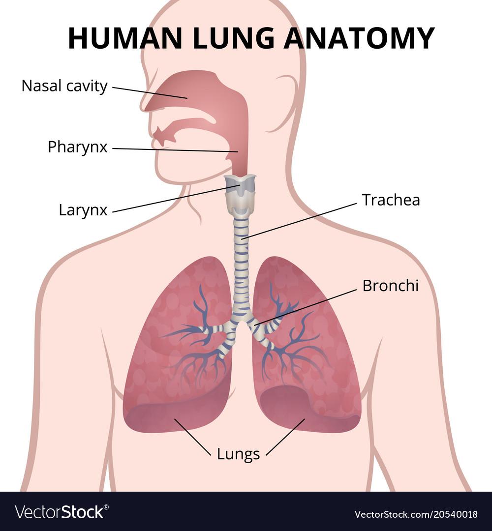 medium resolution of human lungs trachea and nasopharynx vector image