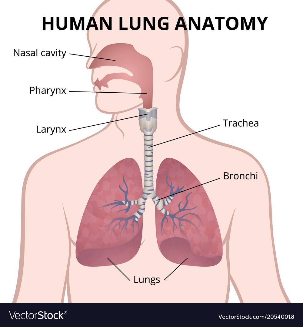 hight resolution of human lungs trachea and nasopharynx vector image