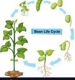 diagram showing bean life cycle vector image [ 923 x 1080 Pixel ]