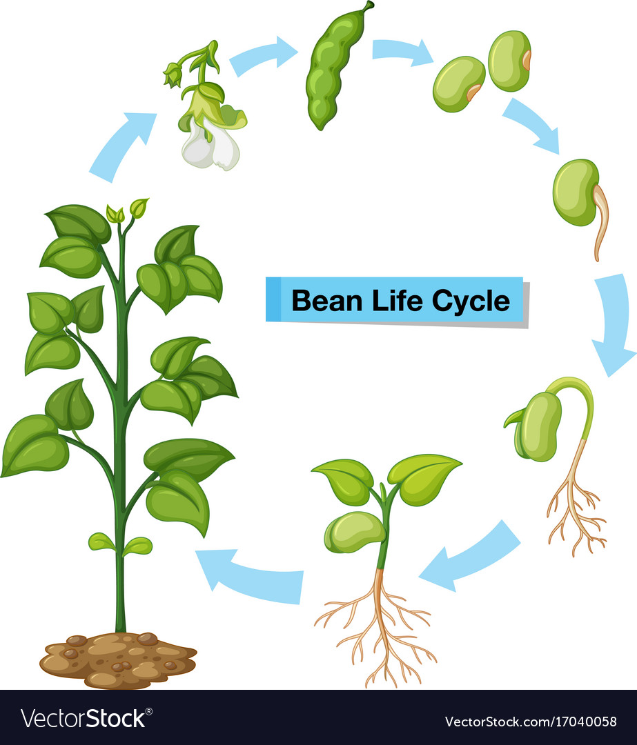 hight resolution of diagram showing bean life cycle vector image