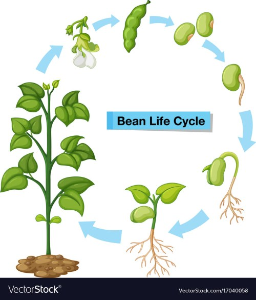 small resolution of diagram showing bean life cycle vector image