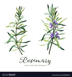rosemary herb diagram [ 1000 x 1080 Pixel ]