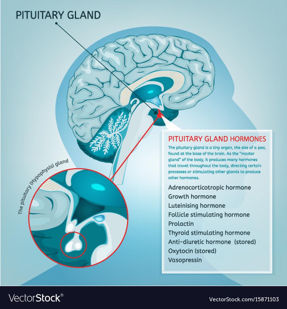 medium resolution of pituitary gland vector image