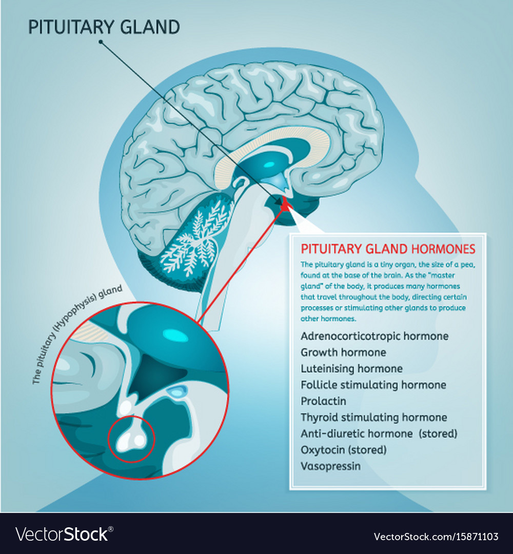 hight resolution of pituitary gland vector image