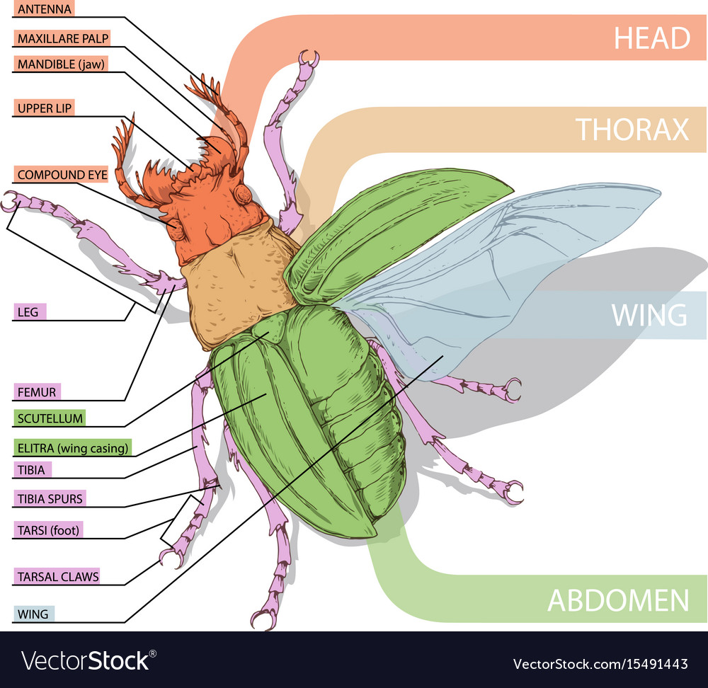 hight resolution of beetle insect diagram