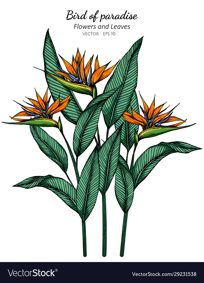 Bird Paradise Flower And Leaf Drawing Royalty Free Vector