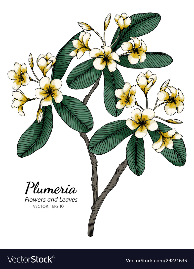 Plumeria Drawing : plumeria, drawing, Plumeria, Flower, Drawing, Vector, Image