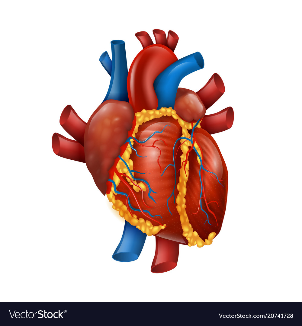 realistic heart diagram 91 honda civic hatchback wiring healthy human royalty free vector image