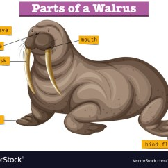 Harp Seal Life Cycle Diagram 1997 Toyota Land Cruiser Electrical Wiring Walrus Body Online Showing Parts Of Royalty Free Vector Image