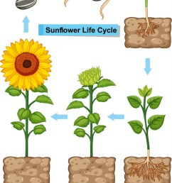 life cycle of sunflower plant vector image [ 820 x 1080 Pixel ]