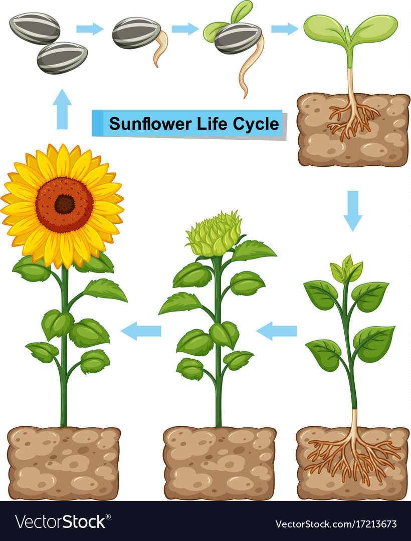 medium resolution of life cycle of sunflower plant vector image