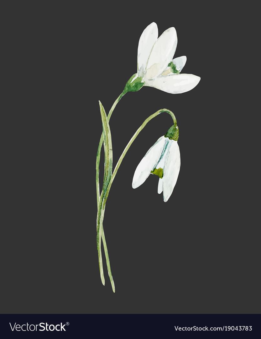 Snowdrop Flower Images : snowdrop, flower, images, Watercolor, Snowdrop, Flower, Royalty, Vector, Image