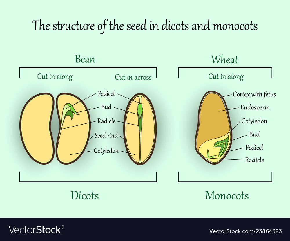 hight resolution of seed structure vector image