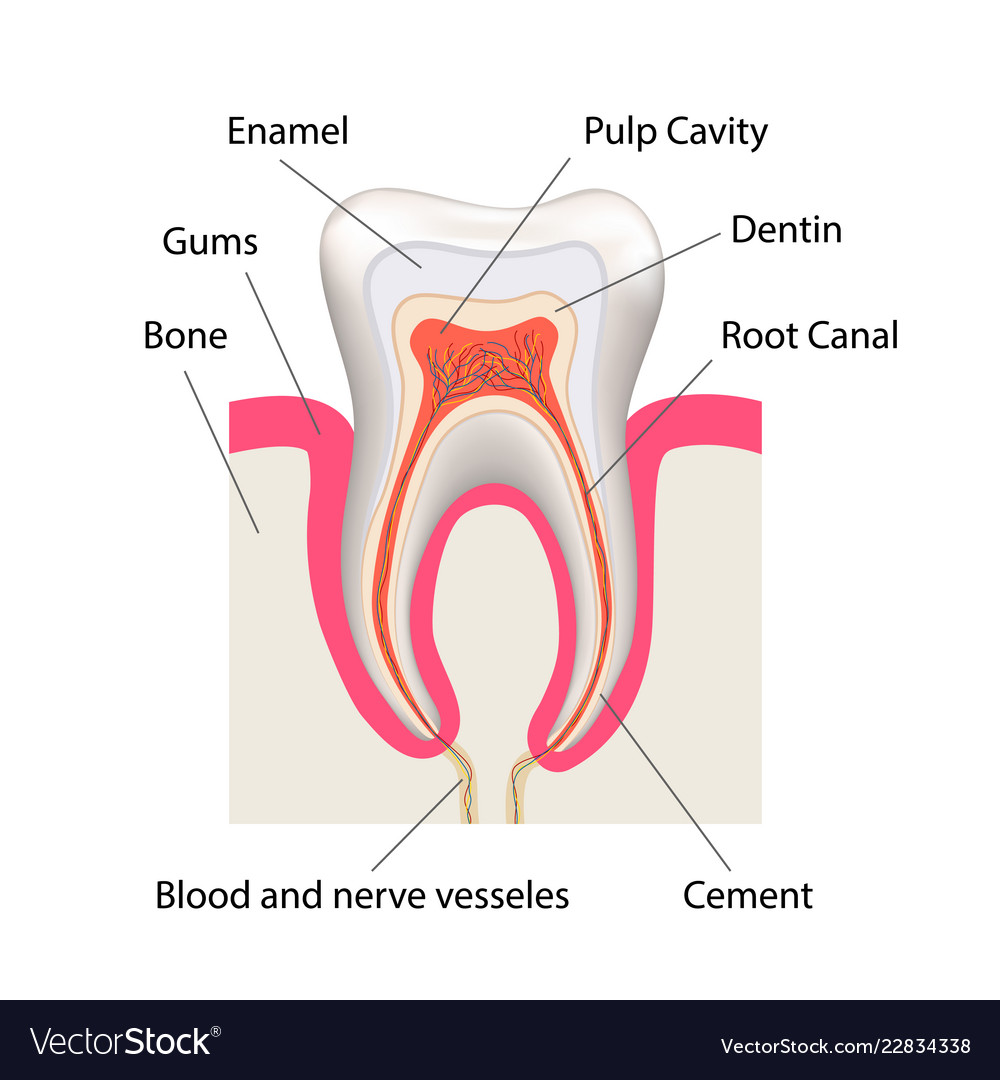 hight resolution of tooth bone diagram