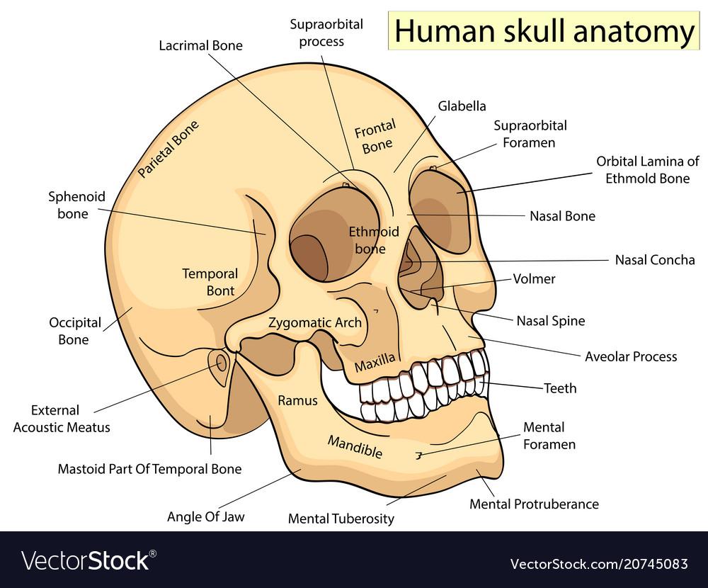 hight resolution of medical education chart of biology human skull vector image human skull diagram eye socket human skull diagram