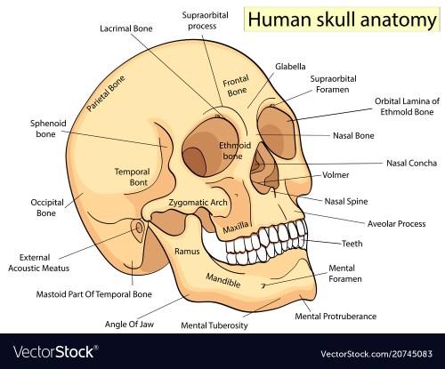 small resolution of medical education chart of biology human skull vector image human skull diagram eye socket human skull diagram