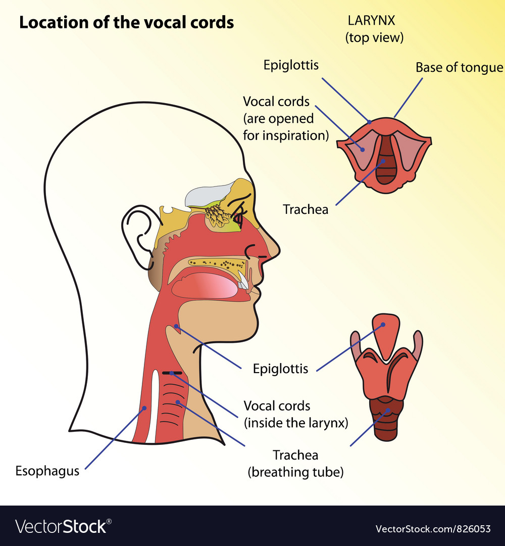 hight resolution of vocal cords vector image