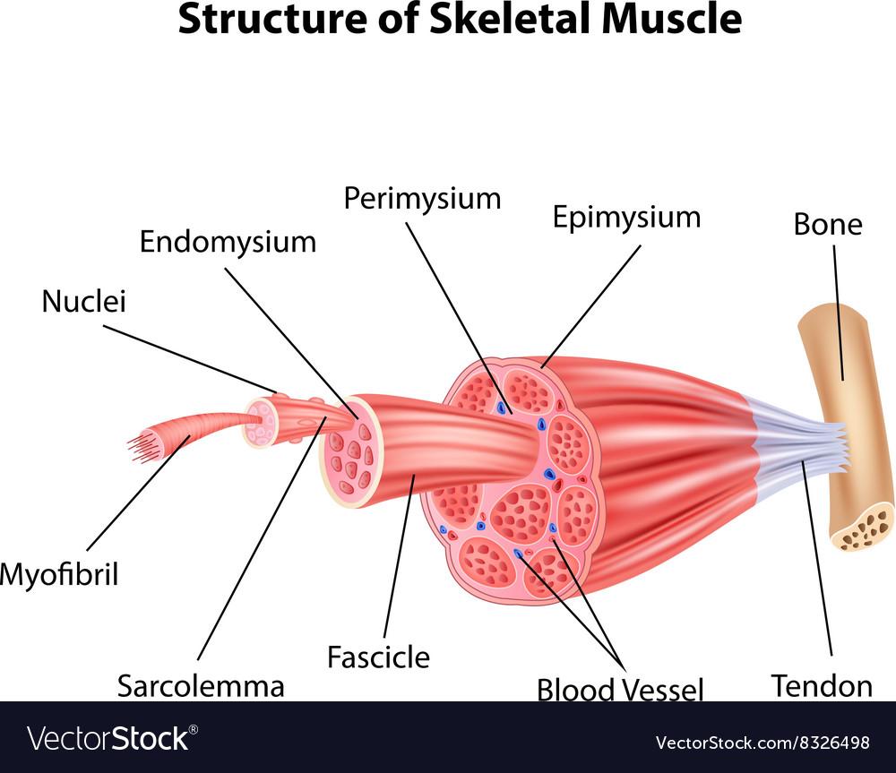 medium resolution of cartoon of structure skeletal muscle anatomy vector image