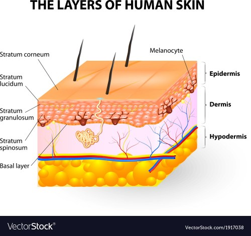 small resolution of diagram of layer of skin