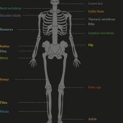 Human Bone Structure Diagram Home Alarm Wiring Diagrams Royalty Free Vector Image