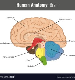 human brain detailed anatomy medical vector image [ 1000 x 980 Pixel ]
