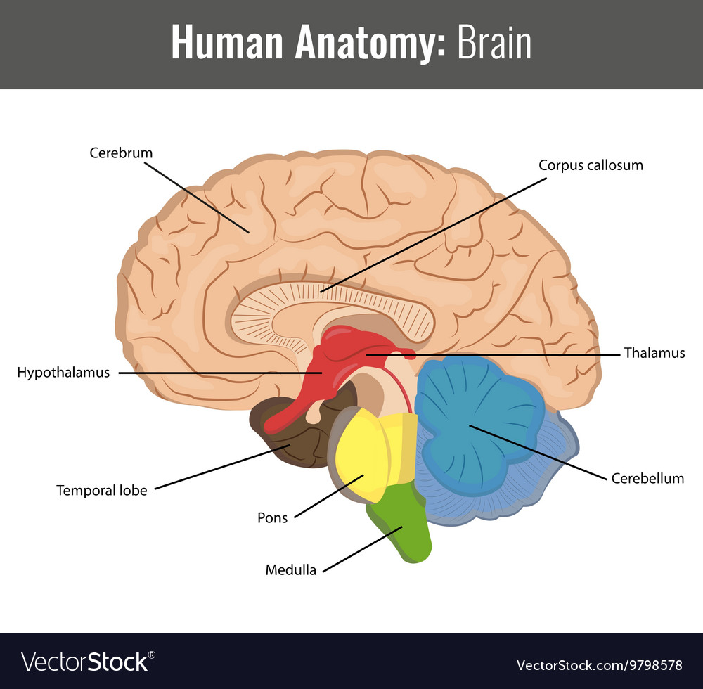 medium resolution of human brain detailed anatomy medical vector image