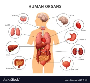 Human body internal ans stomach and lungs Vector Image
