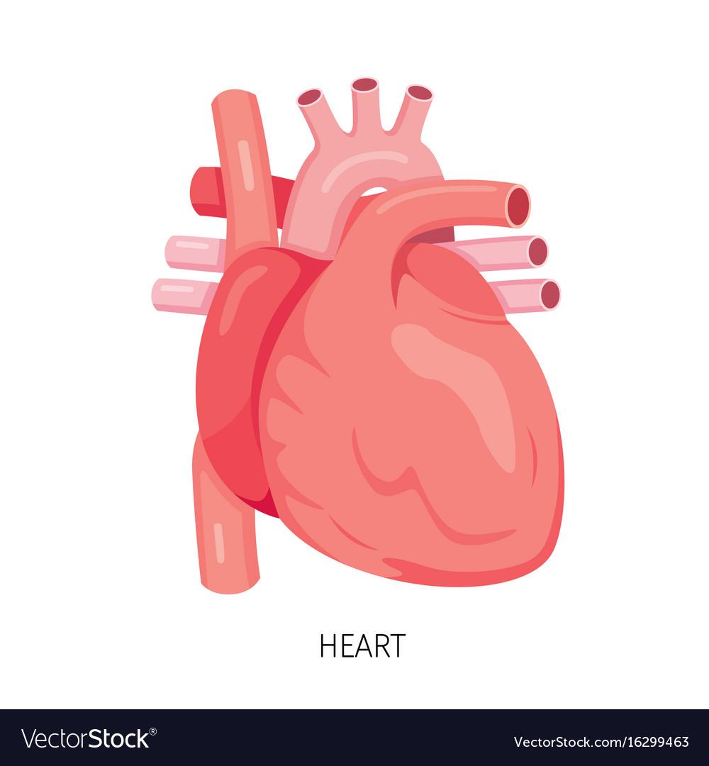 hight resolution of heart human internal organ diagram vector image