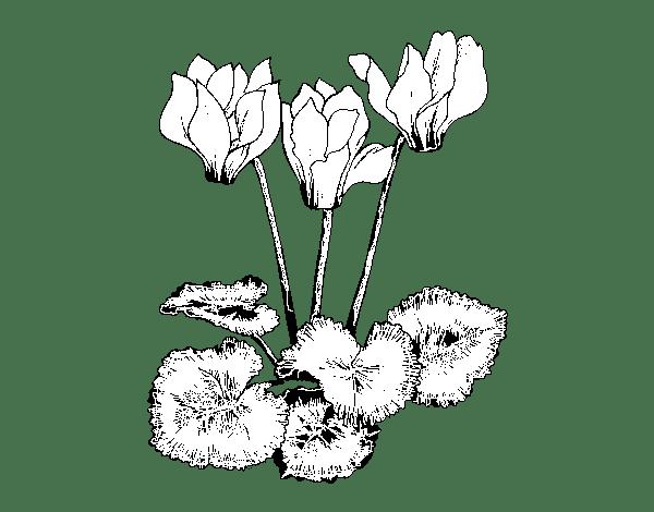 Dibujo De Ciclamen Para Colorear