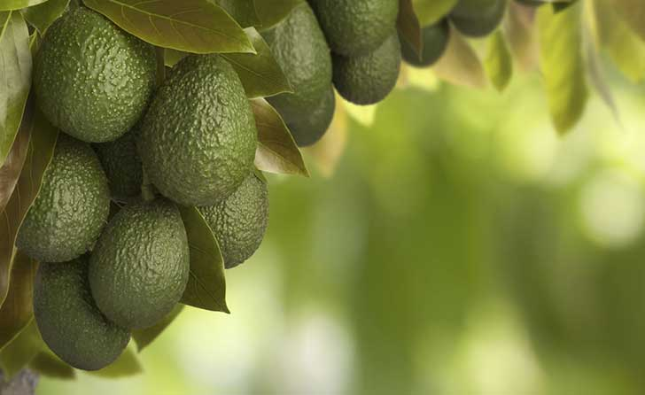 aguacate_sin1
