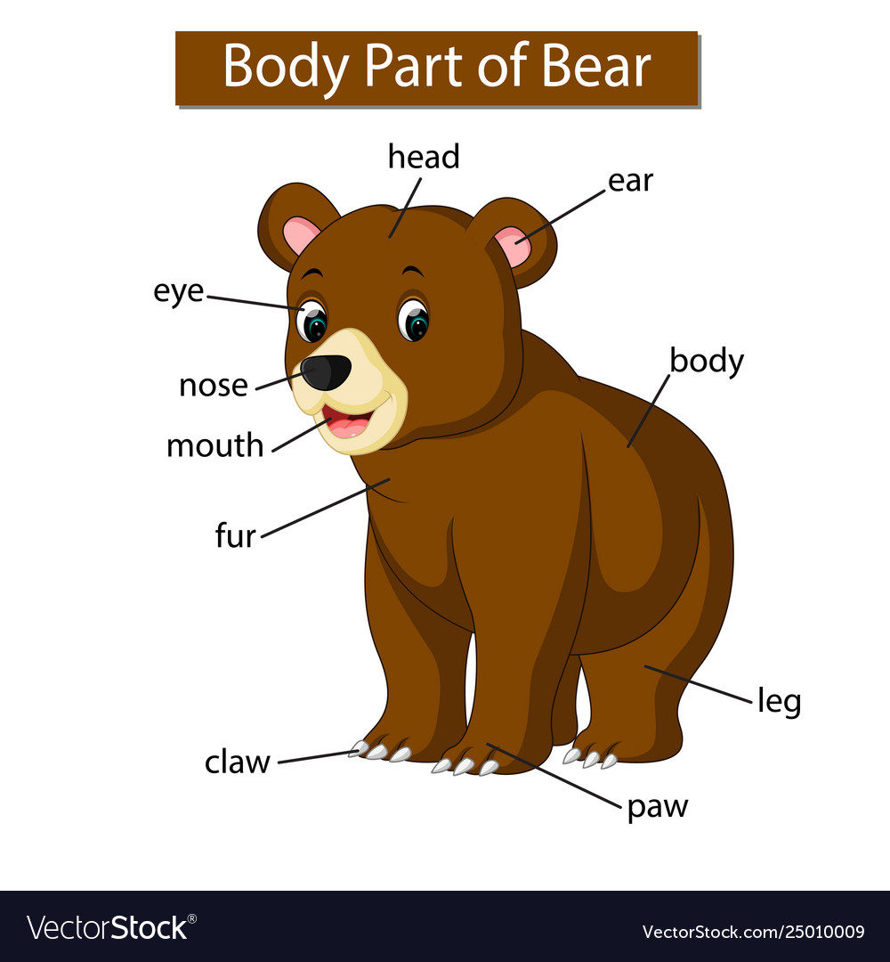 medium resolution of diagram showing body part bear diagram of a beard diagram of a bear