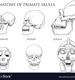 monkey skull diagram [ 1000 x 861 Pixel ]