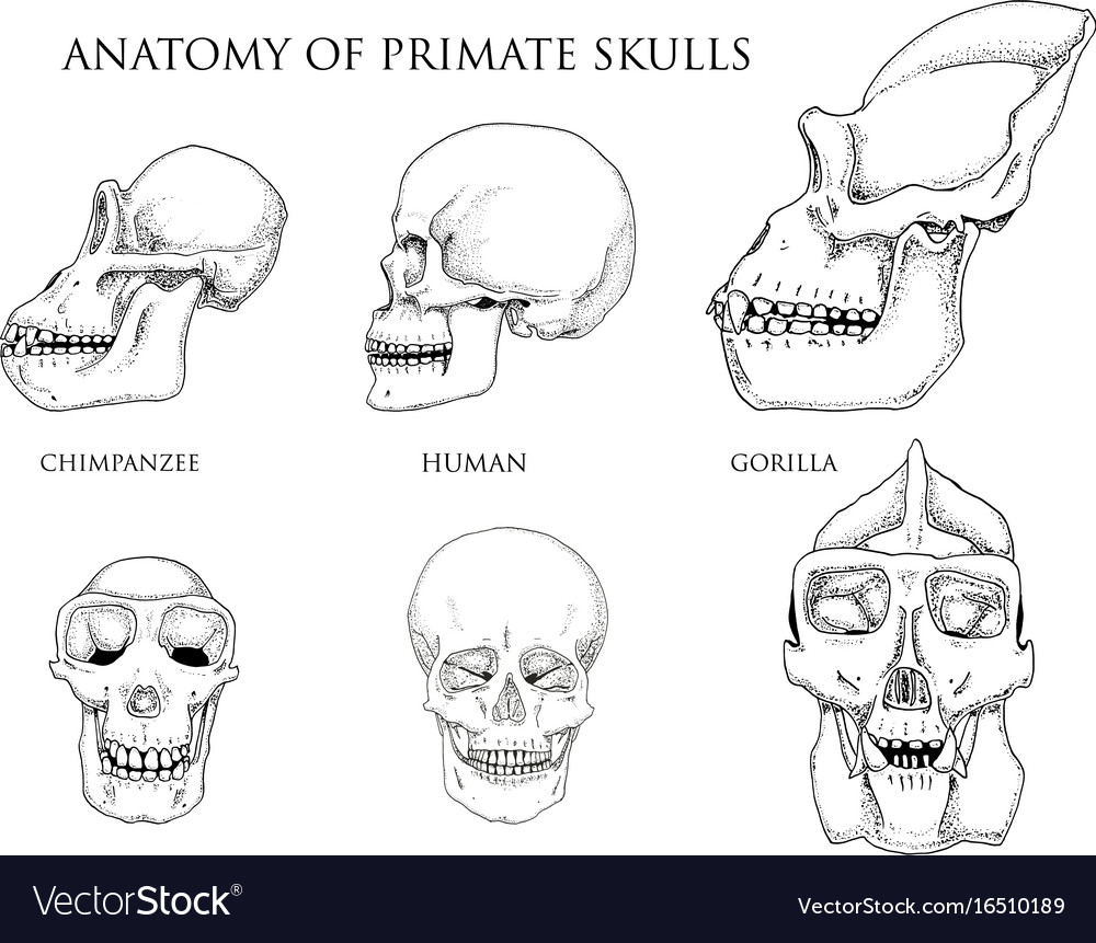 hight resolution of monkey skull diagram