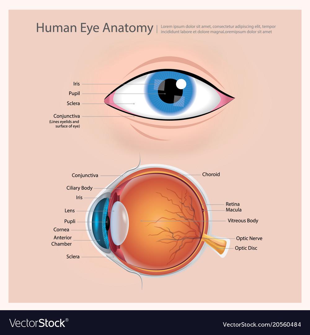 hight resolution of human eye anatomy vector image