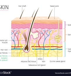 human anatomy skin and hair diagram vector image [ 1000 x 879 Pixel ]