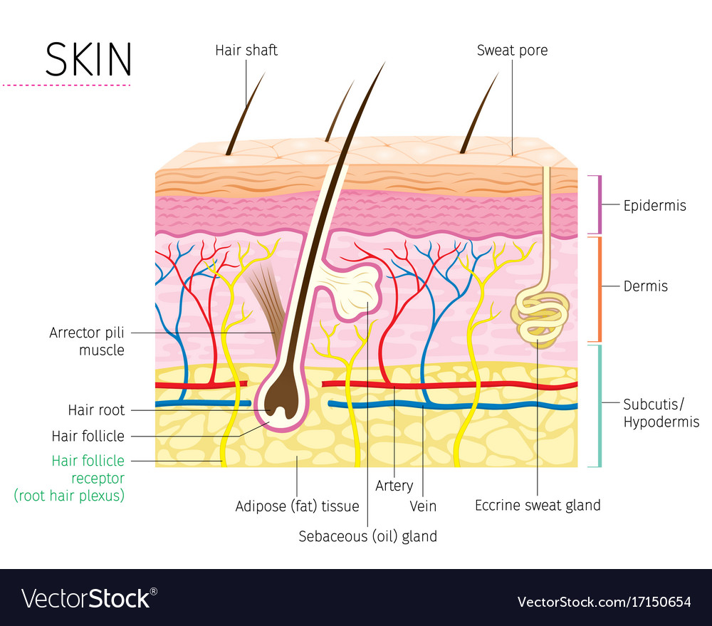 hight resolution of human anatomy skin and hair diagram vector image