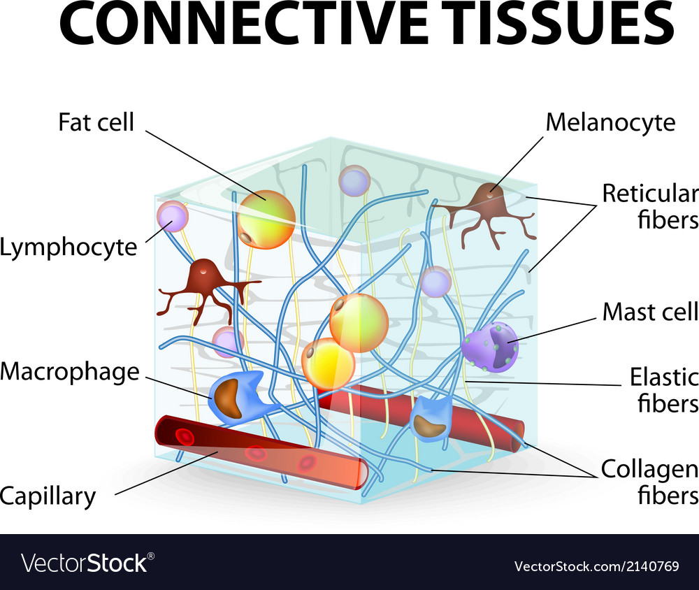 medium resolution of connective tissue vector image