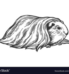 guinea pig cavy animal engraving vector image [ 1000 x 830 Pixel ]