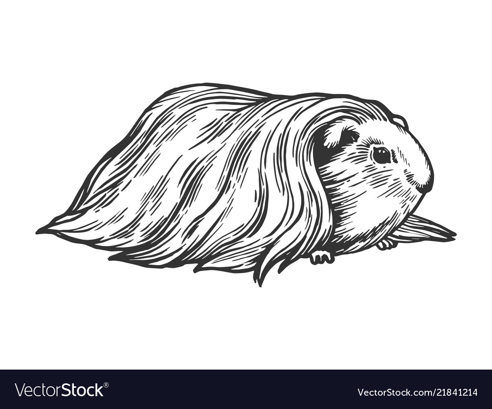 hight resolution of guinea pig cavy animal engraving vector image