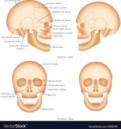 human skull structure royalty free vector image human skull diagram human skull diagram [ 987 x 1080 Pixel ]