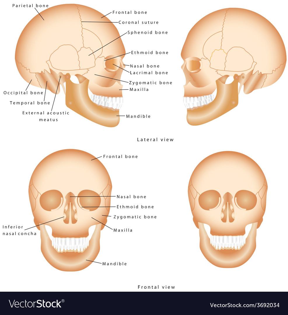 medium resolution of human skull structure royalty free vector image human skull diagram human skull diagram