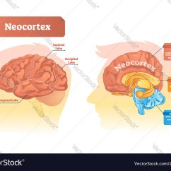 Labelled Diagram Of Human Brain Kenwood Kdc 255u Wiring Neocortex Labeled Royalty Free Vector Image