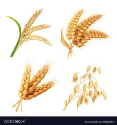 oat grain [ 1000 x 1080 Pixel ]