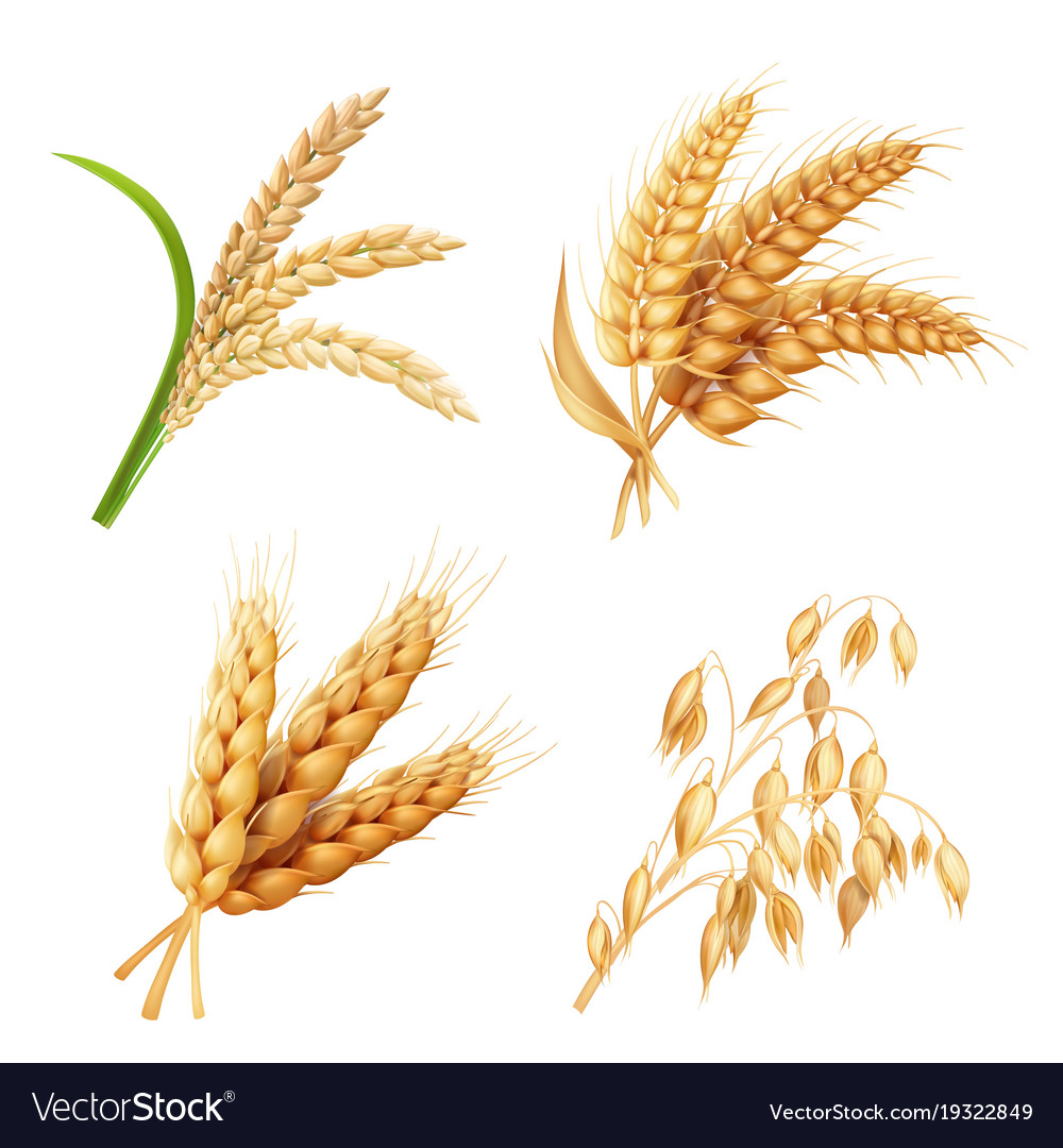 medium resolution of oat grain