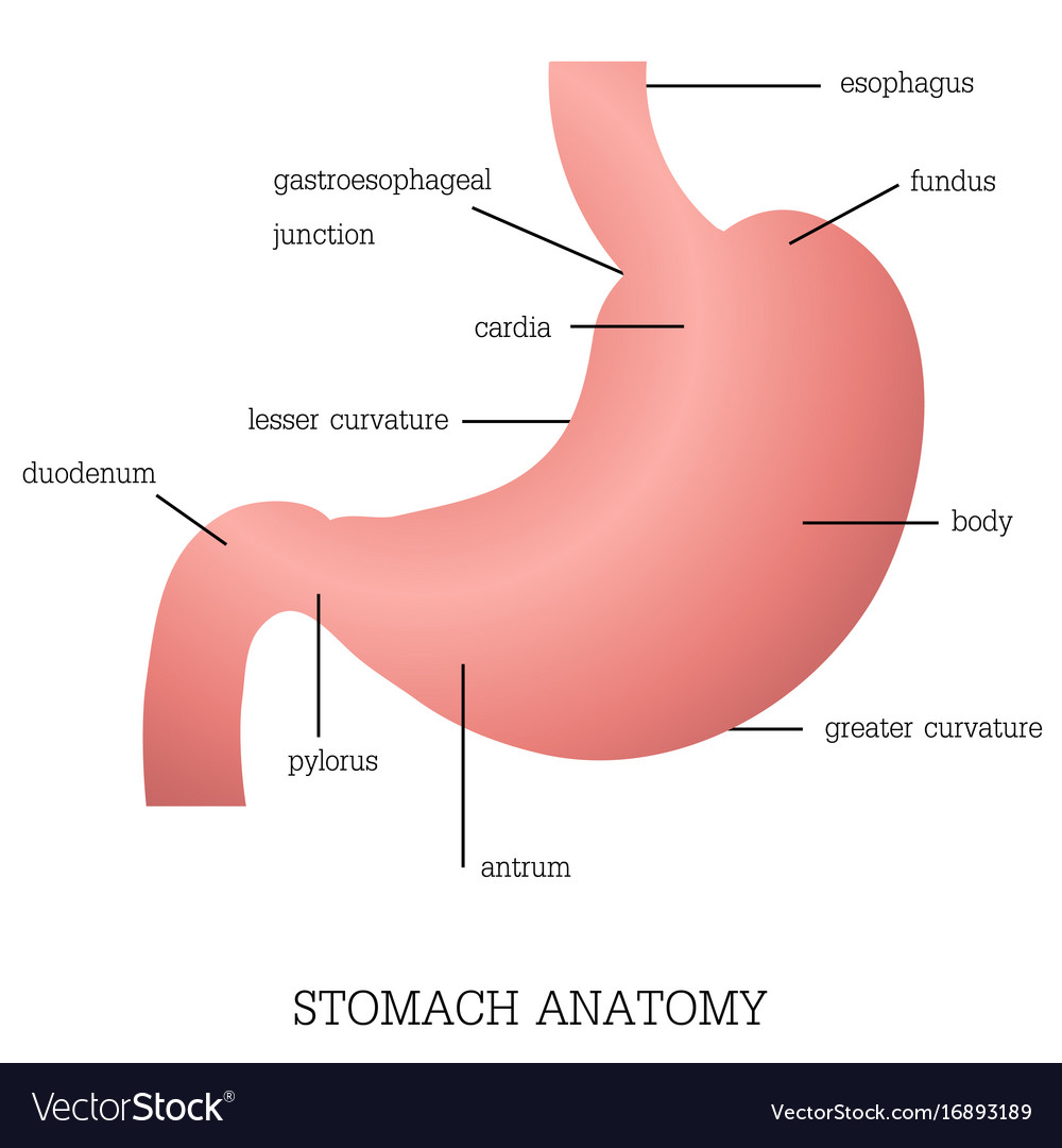 slug anatomy diagram 2015 silverado tow mirror wiring structure and function of stomach system vector image
