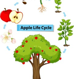 diagram showing life cycle of apple vector image [ 786 x 1080 Pixel ]