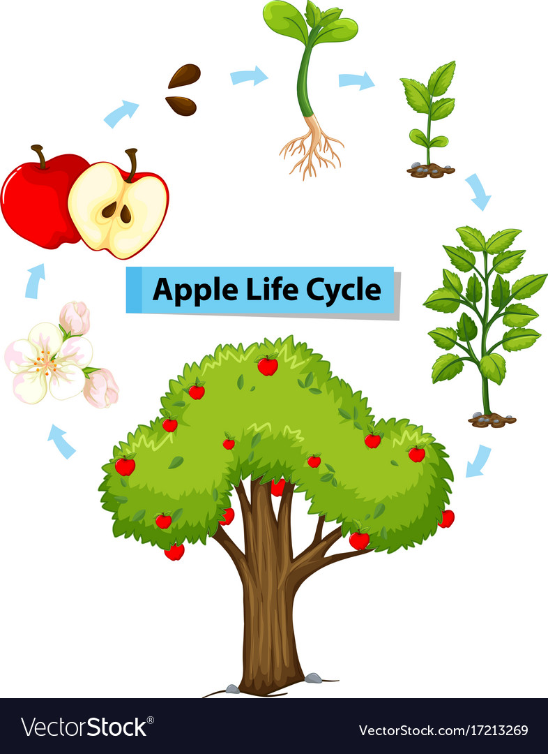 medium resolution of diagram showing life cycle of apple vector image